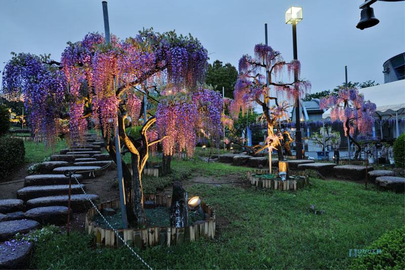 ふじの咲く丘 2012